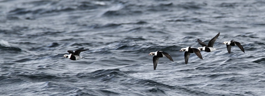 Radar survey of migratory birds at Baltic Sea - The long-tailed duck (Clangula hyemalis). Photo by Artur Niemczyk